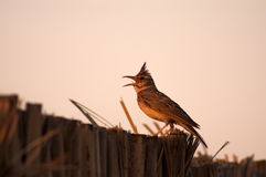Crested lark singing. Perched on fence of palm leafes royalty free stock photos