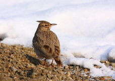 Crested lark on snow Royalty Free Stock Images