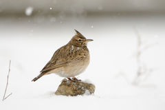 Crested Lark in snow. Crested lark Galerida cristata in winter. Dagestan, Russia Royalty Free Stock Image