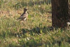 Crested lark Royalty Free Stock Photos