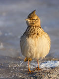Crested Lark in Winter Stock Photo