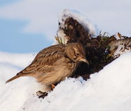 Crested Lark in winter time Stock Photos