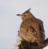 Crested Lark in winter time Stock Photography