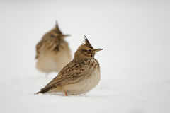 Crested Larks in snow Stock Photos