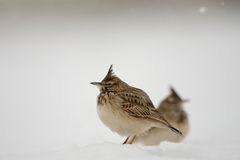 Crested Larks in snow Stock Photography