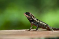 Crested lizard asia. Crested lizard live in asia royalty free stock photography