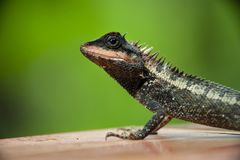 Crested lizard asia. Crested lizard live in asia royalty free stock photo