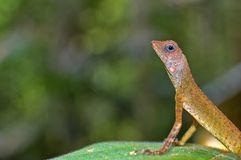 Crested chameleon lizard. Crested lizard with bokeh background Royalty Free Stock Photography