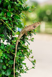 Crested Lizard Royalty Free Stock Photos