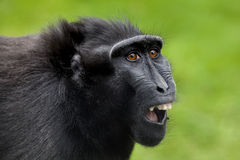 Crested macaque Royalty Free Stock Images