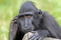 Crested macaque Stock Photography