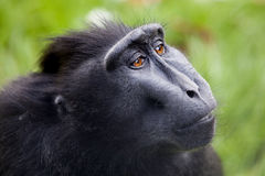 Crested macaque Royalty Free Stock Photos