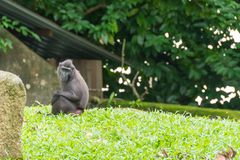 Crested macaque while sitting on a grass field. Celebes crested macaque, also known as the crested black macaque or the black ape is an Old World monkey that Royalty Free Stock Photos