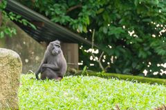 Crested macaque while sitting on a grass field. Celebes crested macaque, also known as the crested black macaque or the black ape is an Old World monkey that Royalty Free Stock Photography