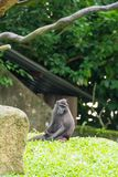 Crested macaque while sitting on a grass field. Celebes crested macaque, also known as the crested black macaque or the black ape is an Old World monkey that Royalty Free Stock Images