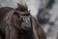 Crested macaque Stock Images