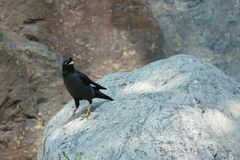 Crested Myna Stock Images