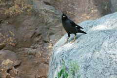 Crested Myna Stock Photos