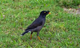 A Crested Myna Bird on the green grass. The image of Crested Myna Bird on the green grass Royalty Free Stock Images