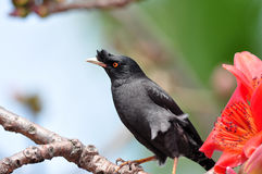 Crested Myna on Cotton tree. Crested Myna standing on Cotton tree Stock Photo
