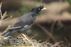Crested myna Royalty Free Stock Photography