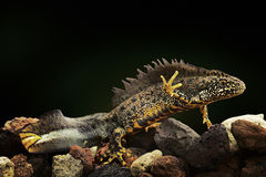 Crested newt amphibian underwater Royalty Free Stock Images