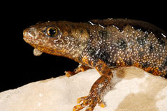 Crested newt Triturus cristatus near Valliguieres, France Stock Photo