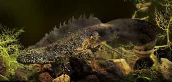 Crested newt or water dragon stock photo