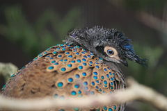 Crested peacock-Pheasant Royalty Free Stock Photo