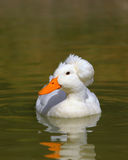 Crested Pekin Duck Royalty Free Stock Images