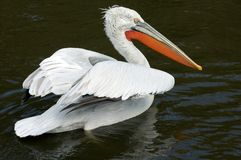 Crested pelican. Portrait of crested pelican (Pelecanus crispus) on the water Royalty Free Stock Photography