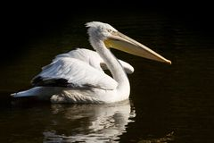 Crested Pelican Stock Photography