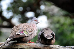 Crested Pigeon. Two Crested Pigeons playing on the tree Stock Photo