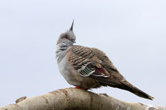 Crested Pigeon. Side portrait of crested pigeon perched on branch with light sky background Royalty Free Stock Images