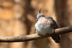 Crested Pigeon Royalty Free Stock Image