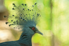 Crested pigeon Royalty Free Stock Photos