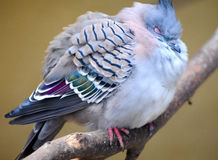 Crested pigeon Royalty Free Stock Photography