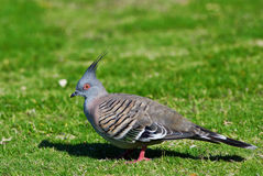 Crested Pigeon - Australian Bird Royalty Free Stock Photography