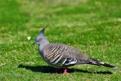 Crested Pigeon - Australian Bird. Crested Pigeon (Ocyphaps Iophotes) - Australian Bird Royalty Free Stock Photography