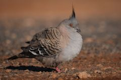 Crested pigeon Stock Photos