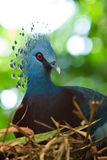 Crested pigeon bird sitting on her nest. In the tree Stock Photos