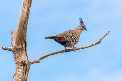 Crested pigeon on a branch Stock Photography