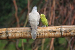 Crested pigeon and budgerigar Stock Photography