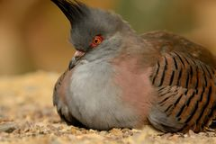 Crested pigeon Stock Photography