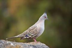 Crested pigeon. Or dove, Australian bird stock image