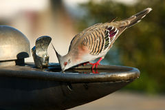 Crested pigeon drinking from water bowl. Crested pigeon drinking from park water tap and bowl Stock Image