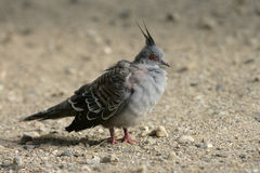 Crested pigeon, Geophaps lophotes Stock Photo