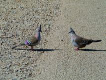 The Crested Pigeon Stock Images