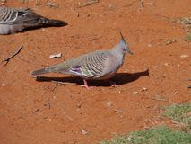 A crested pigeon Royalty Free Stock Photos