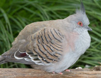 Crested Pigeon (Ocyphaps lophotes). Crested Pigeon portrait Stock Photos